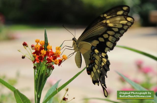 Giant Swallowtail Butterfly Description Identification