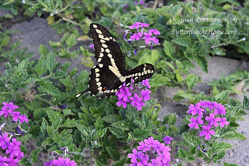 Giant Swallowtail Butterfly, missing its right tail, feeding on Verbena