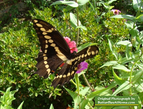 Giant Swallowtail on Pink Zinnia