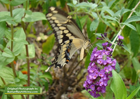 Giant Swallowtail enjoying nectar from a Purple Butterfly Bush