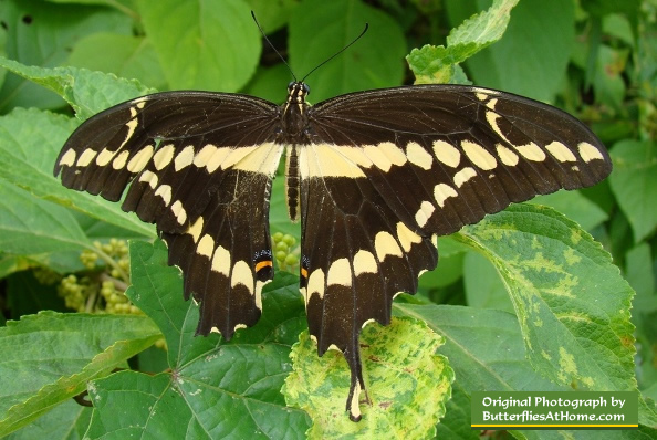Giant Swallowtail without its left tail, resting in the shade of the woods