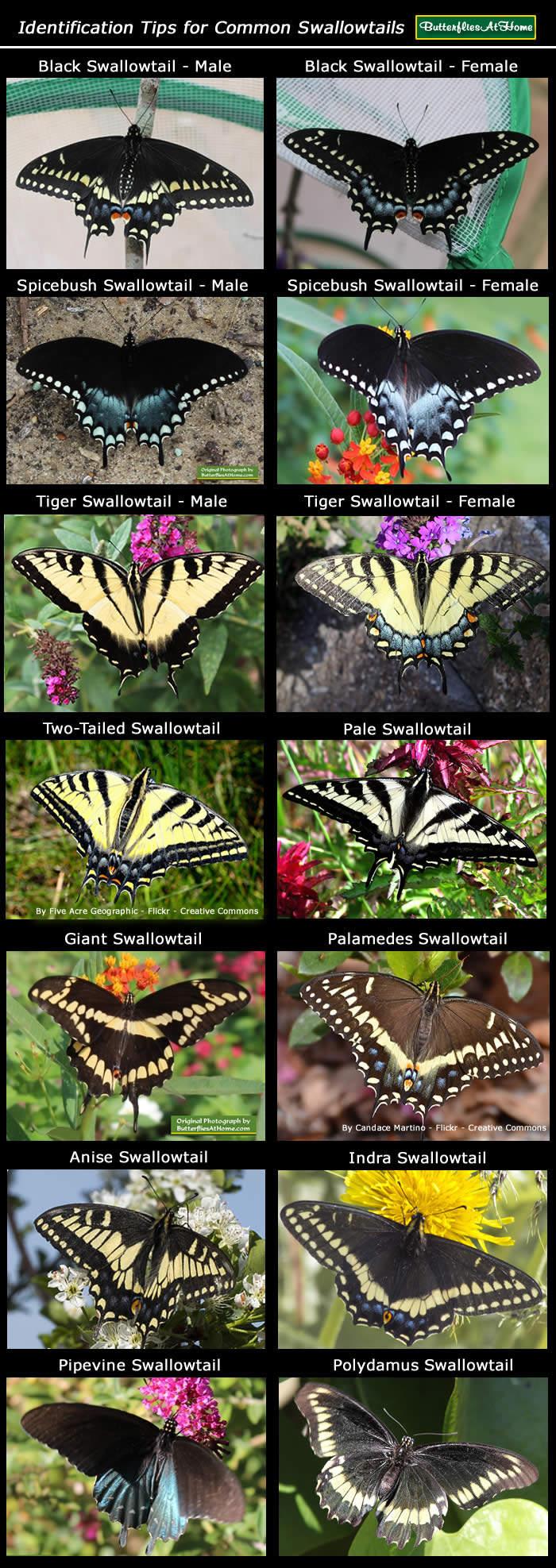 click for identification tips for swallowtail butterflies