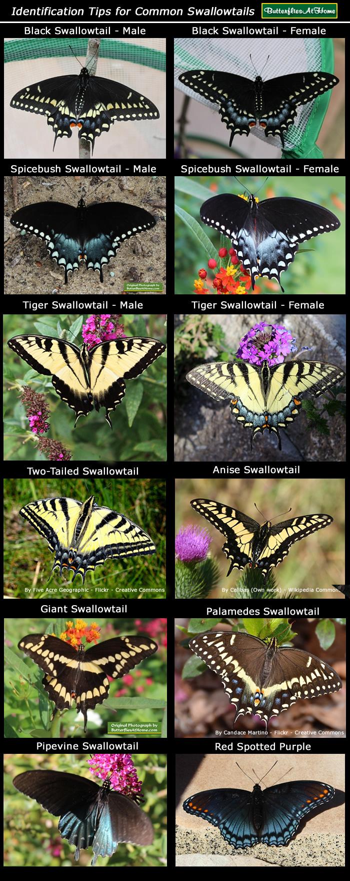Swallowtail butterfly comparison is it a black swallowtail or a swallowtail butterfly identification chart buycottarizona