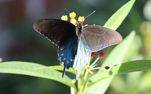 Pipevine Swallowtail Butterfly on Milkweed