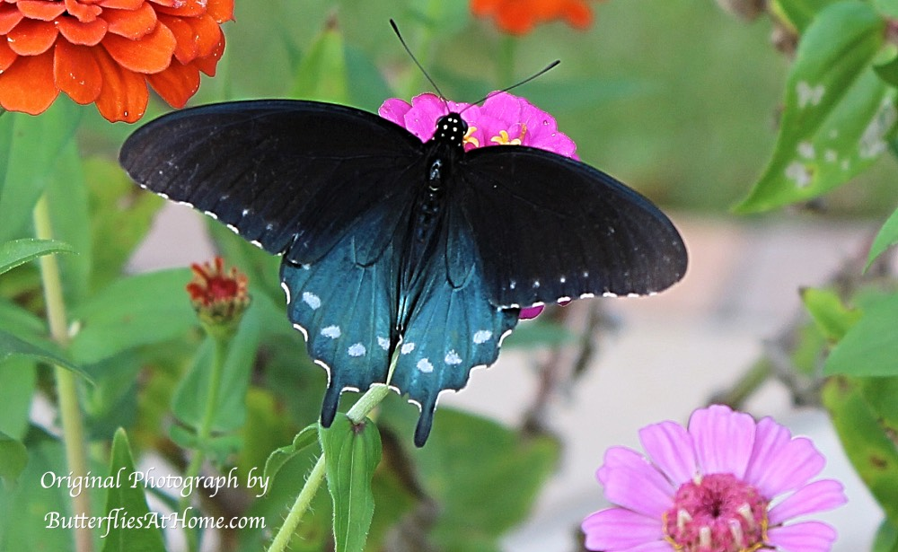 Pipevine Swallowtail Butterfly in East Texas - October 17, 2016