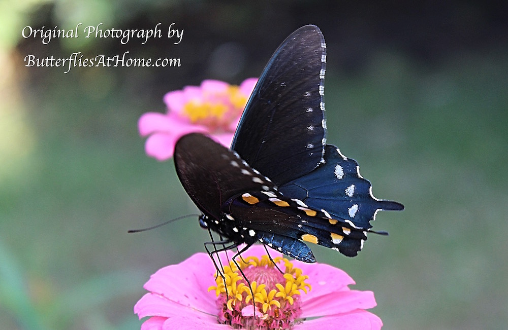 Pipevine Swallowtail Butterfly exhibiting its beautiful bluish body