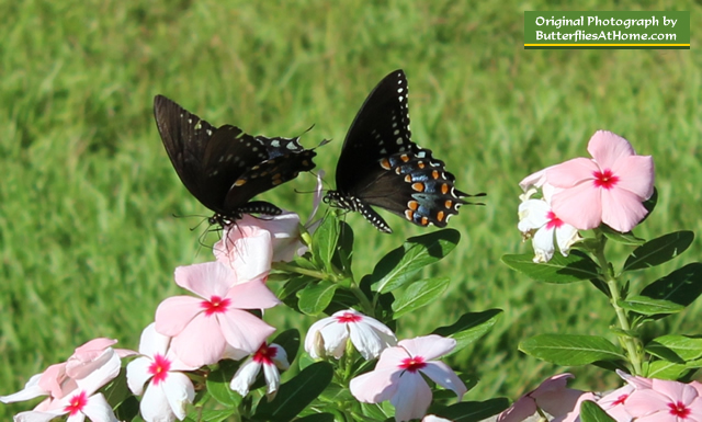 Male Spicebush Swallowtail (to the right) pursues female (on the left)