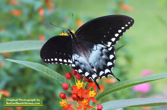 Spicebush Swallowtail Butterfly on Texas Milkweed