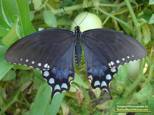 spicebush swallowtail butterfly  identification