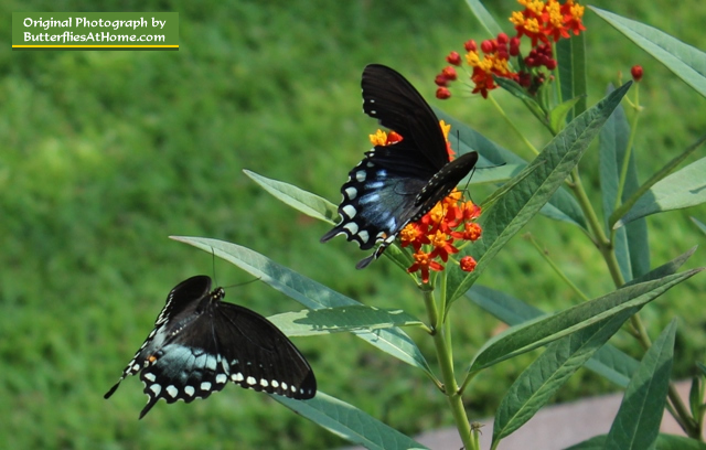 Male Spicebush Swallowtail (green coloration) pursues female (blue coloration)