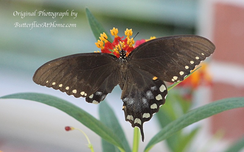 Female Spicebush Swallowtail with large part of her right wing missing ... but still flying from one Zinnia to the next, with no problem! Perseverance personified!
