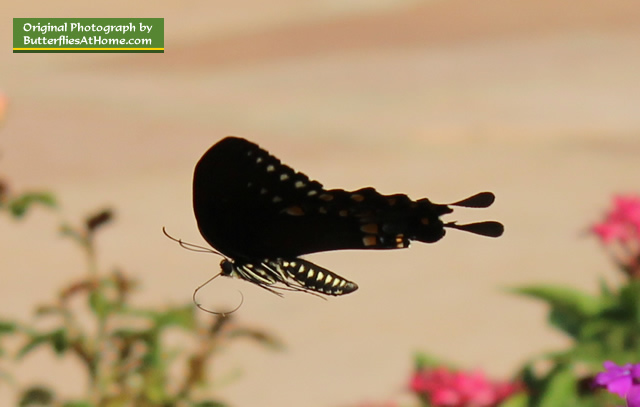 Close-up view of Spicebush Swallowtail Butterfly in flight