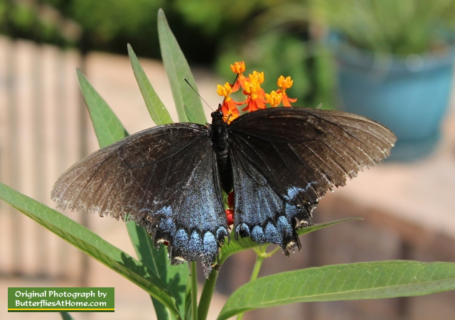 "Female ""Black"" Tiger Swallowtail Butterfly"