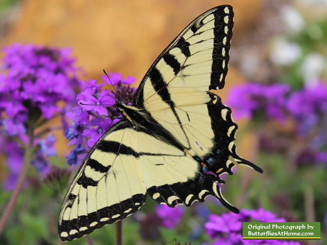 eastern tiger swallowtail butterfly size colors life span host