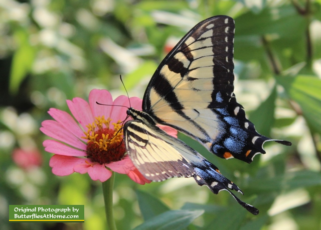 Female Tiger Swallowtail Butterfly on a pink Zinnia flower in East Texas