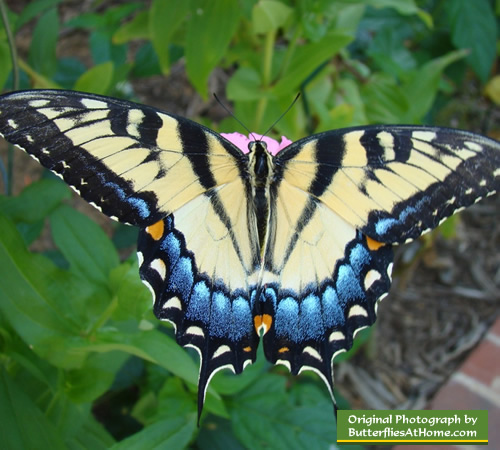 Female Tiger Swallowtail Butterfly near Tyler Texas