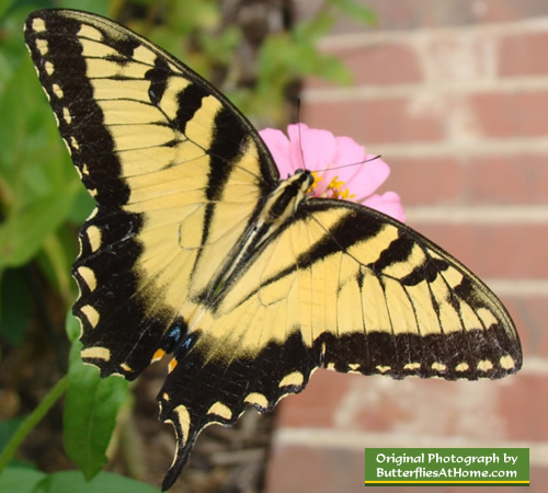 Male Tiger Swallowtail Butterfly missing one tail