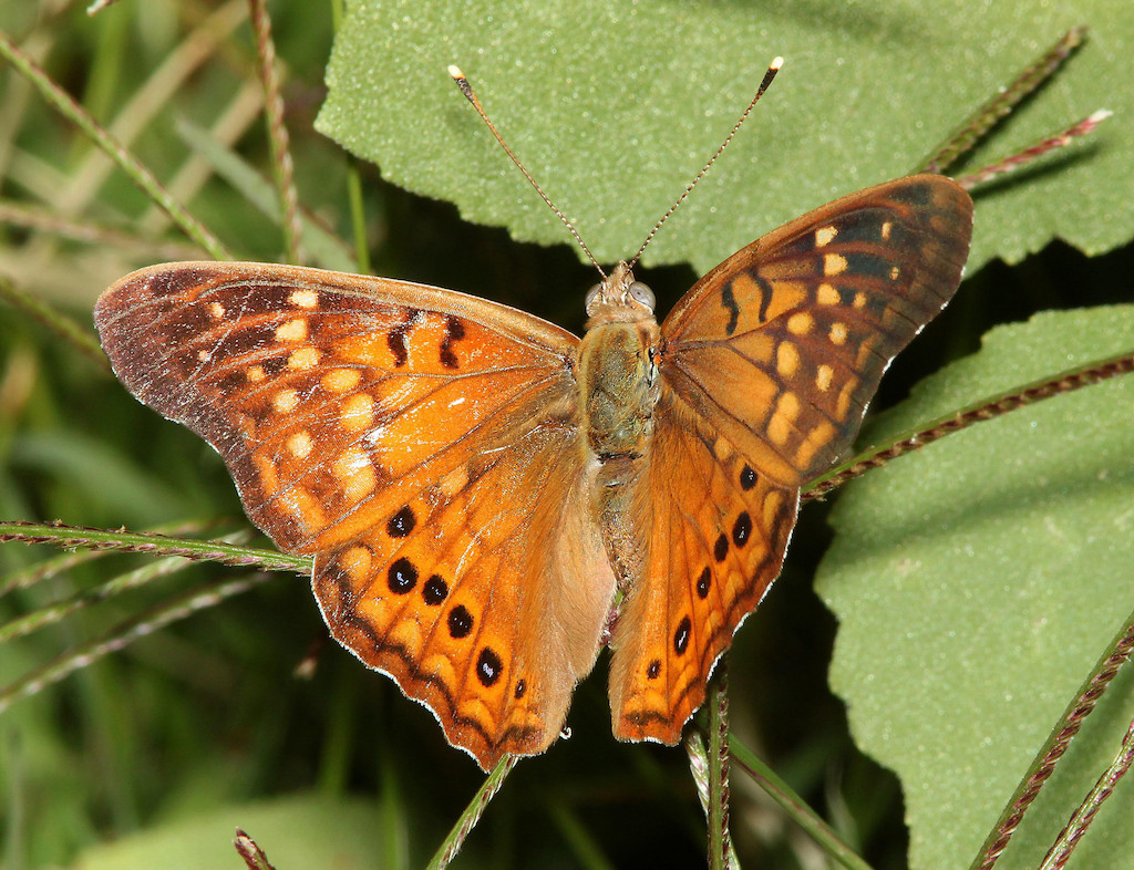 Tawny Emperor Butterfly