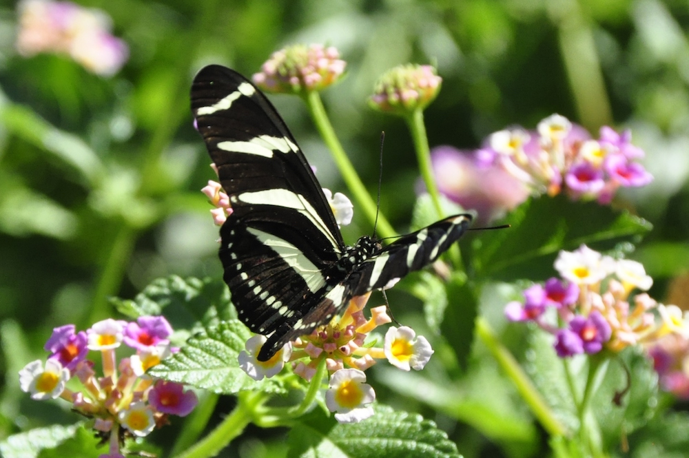 Zebra Heliconian Butterfly in Texas