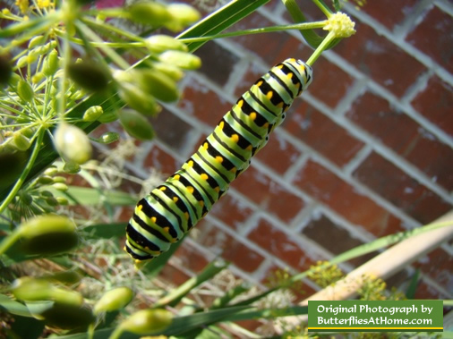 Mature Black Swallowtail Caterpillar showing its green coloration with black bands and yellow spots