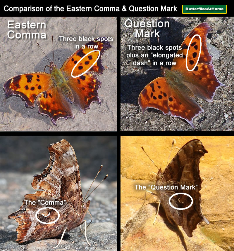 Comparison of the Eastern Comma butterfly and the Question Mark butterfly