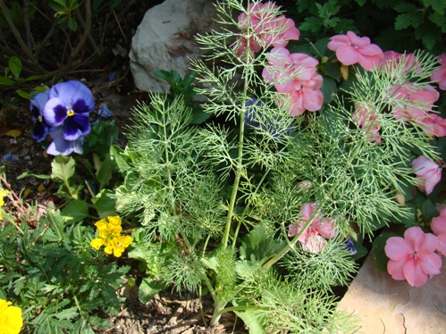 Dill ... a favorite host plant for the Black Swallowtail caterpillar