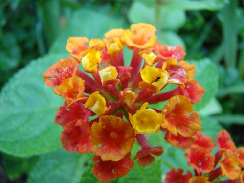 Close-up view of flowers on lantana