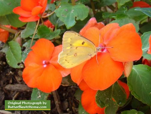 Orange Impatiens In A Butterfly Garden
