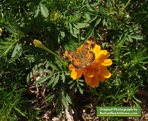 Orange Marigold hosting a Pearl Crescent butterfly
