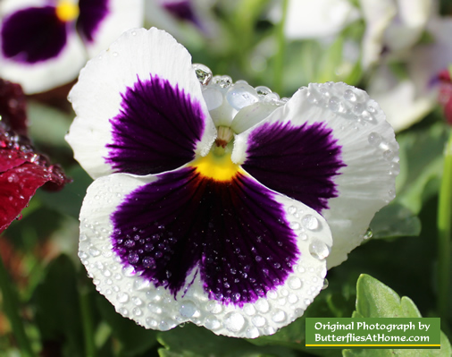 White Majestic Giant Pansy blooming in the spring