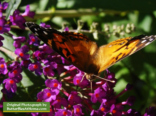 Painted Lady Butterfly on Butterfly Bush
