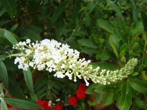 Butterfly Gardening Host Plants Nectar Plants Puddling