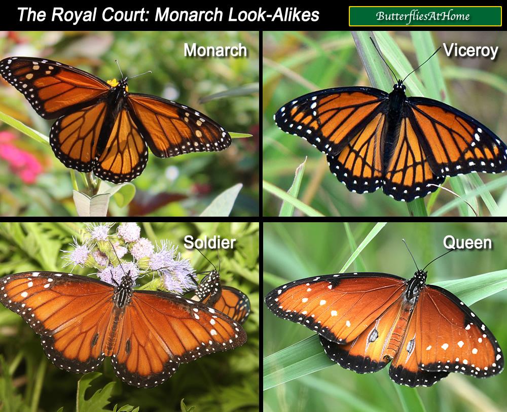 Monarch Butterfly, lif...