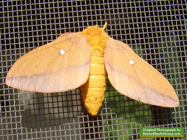 Spiny Oakworm Moth