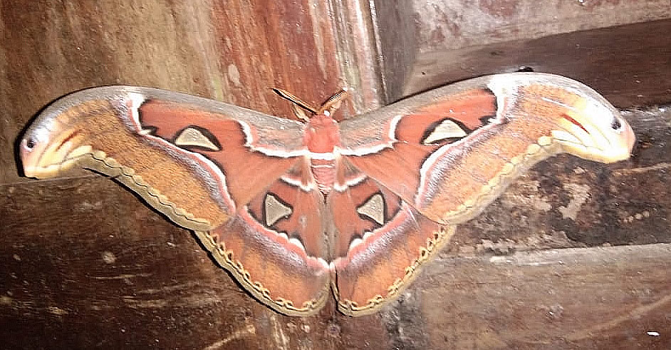 Naga Shalabham Moth spotted at the Idukki District of Kerala in India