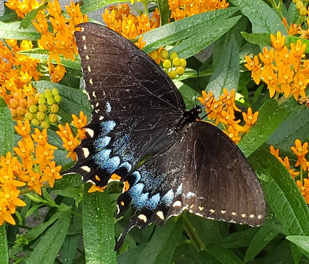 Female Eastern Tiger Swallowtail, black dimorphic form, on a Butterfly Milkweed in Catonsville, Maryland