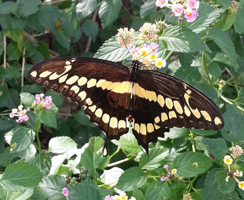 Giant Swallowtail in Irving, Texas