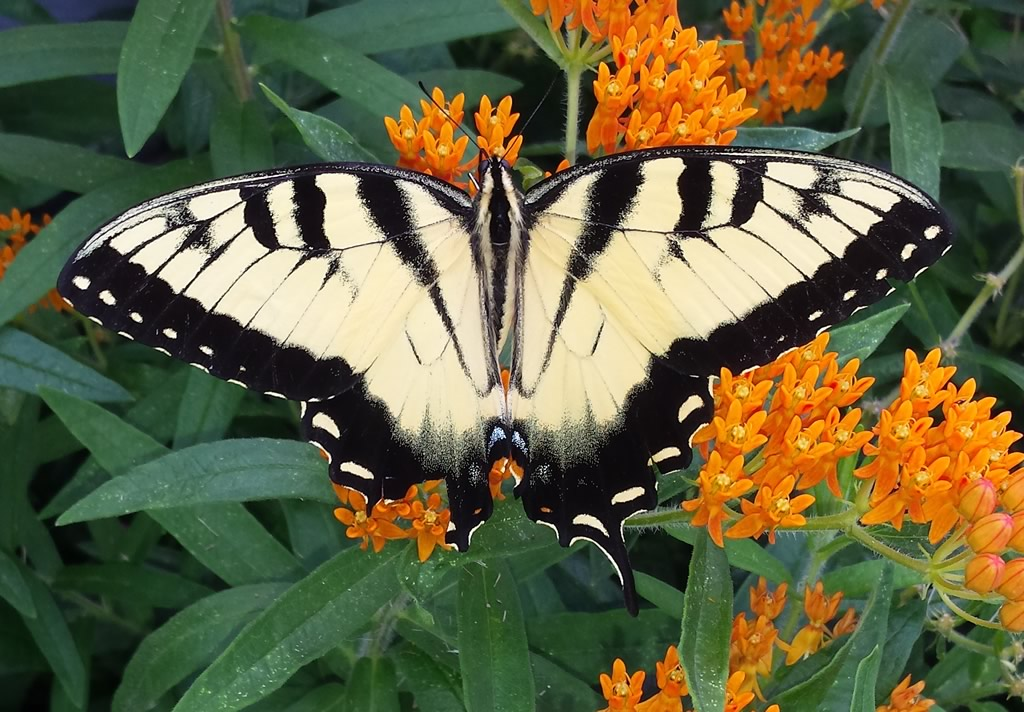 Male Eastern Tiger Swallowtail on a Butterfly Milkweed in Catonsville, Maryland