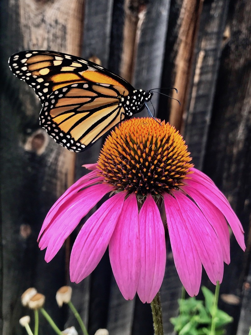 Monarch Butterfly on Cone Flower in Massachusetts