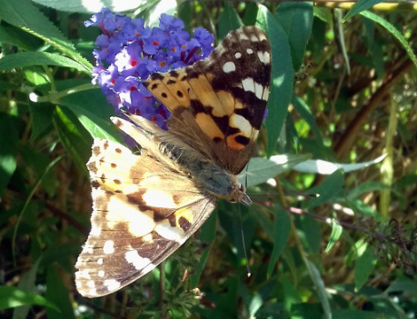 Painted Lady Butterfly in Penarth, South Wales, UK