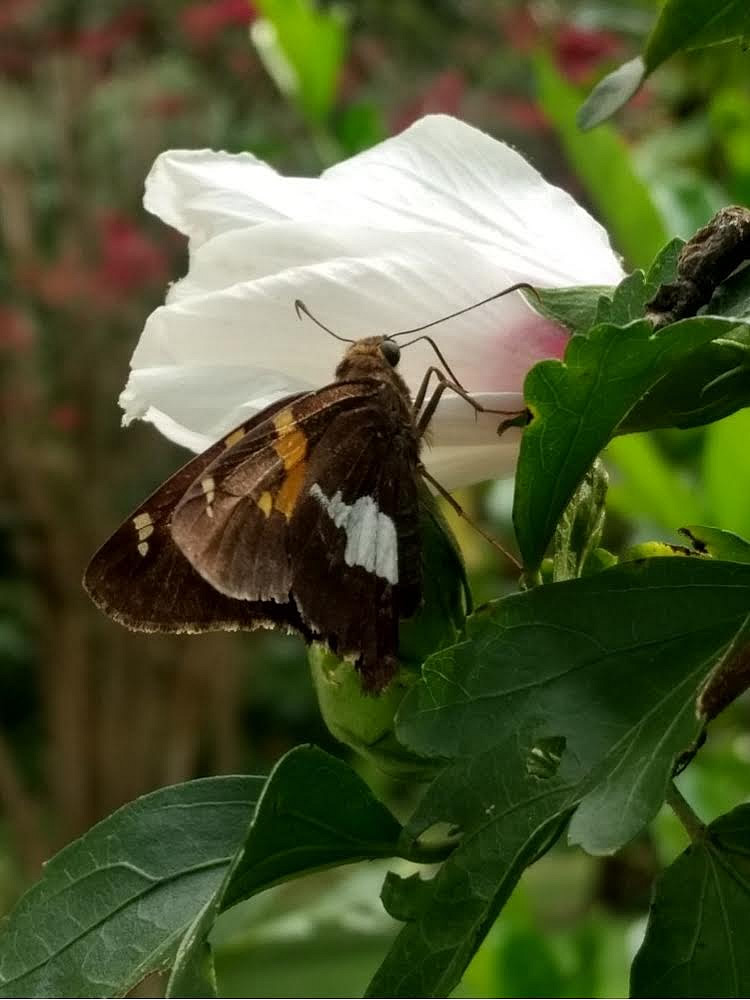 Silver Spotted Skipper on a white hibiscus, Taylors, South Carolina