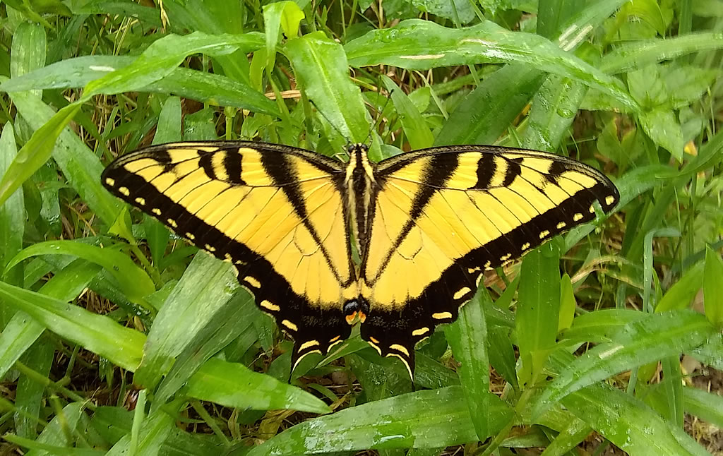 Tiger Swallowtail, Hurst, Texas