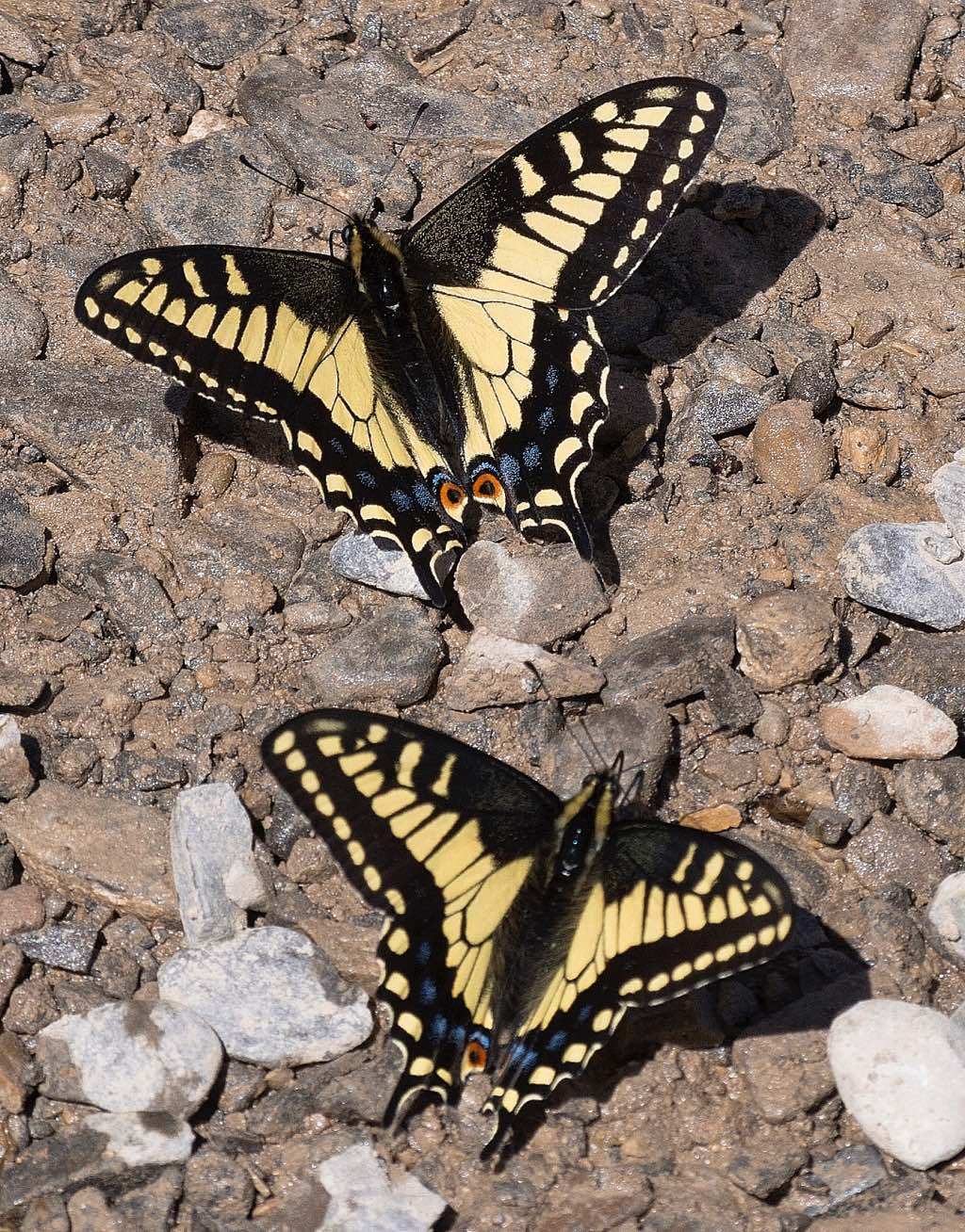 Anise Swallowtail Butterflies resting on rocks