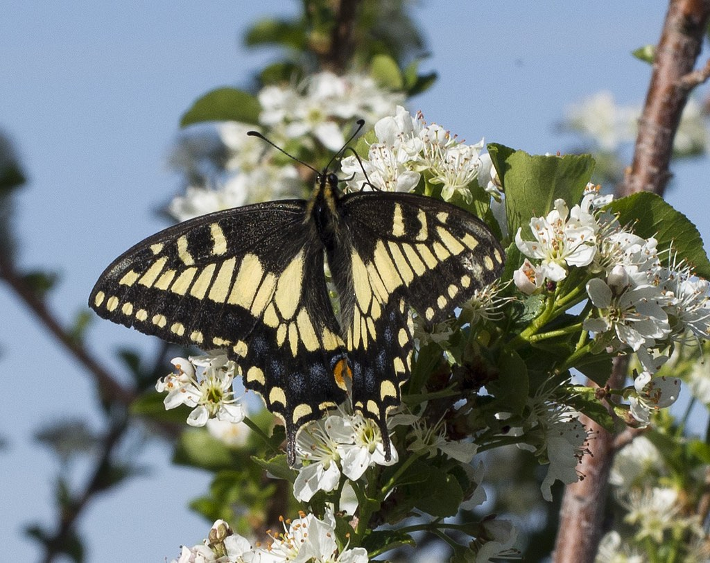 Anise Swallowtail Butterfly amidst spring blossoms
