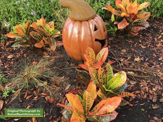 It's Fall at Cerulean Park ... pumpkins and Crotons!