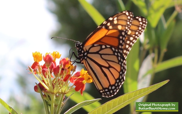 Monarch Butterfly on Milkweed at the Cerulean Park in WaterColor, Florida