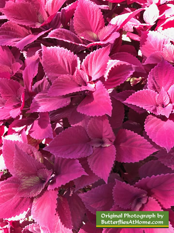 Pink Coleus in autumn at the Cerulean Park